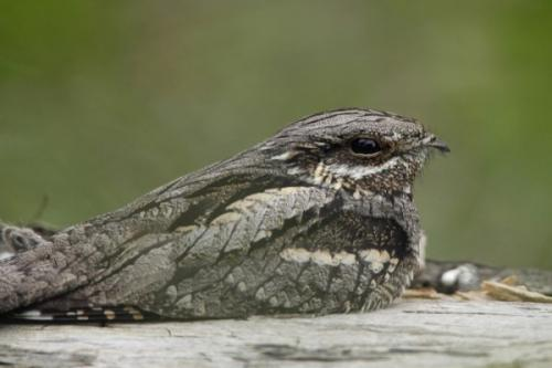 Nightjar Walk on Dartmoor   with the RSPB and RAMM