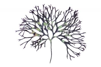 A lightdark sea garden: seaweed pressings and prints by Jo Crook